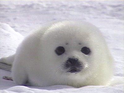 cute-baby-seal
